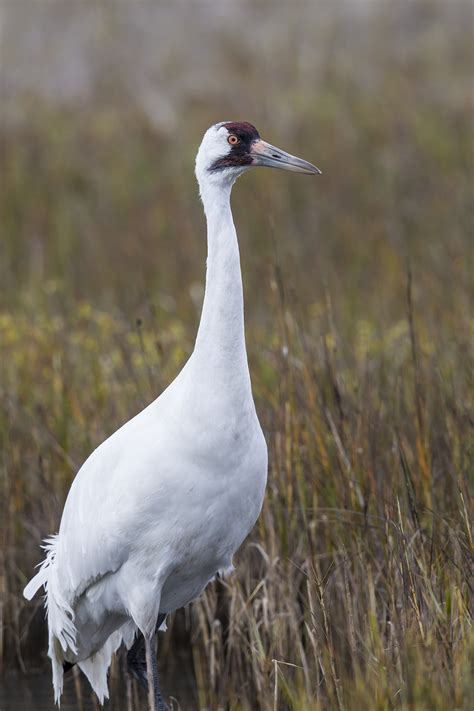 whooping crane chicks expected  fly  texas