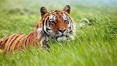Tiger Amazing Siberian Wallpapers Tigers Grass Tigre