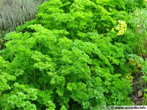 cuisiner le gibier persil frisé planter cultiver récolter