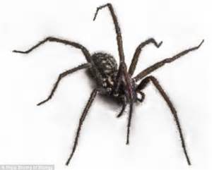 large lazy warm summer means an 39 influx 39 of spiders are heading for