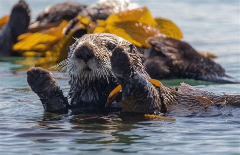 Navy Takes Aim at California Sea Otters | KCET