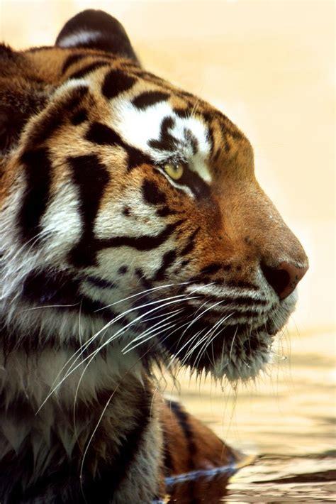Best Images About Big Cats Pinterest Belize