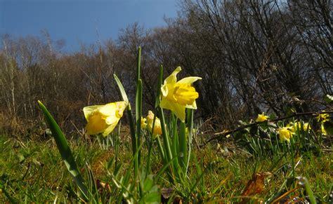 Narcis giftig