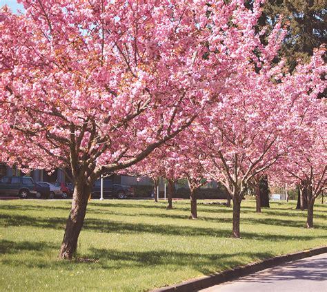 flowering japanese cherry zibagz kwanzan flowering cherry