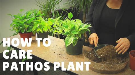 How To Care For A Pothos Plant Youtube