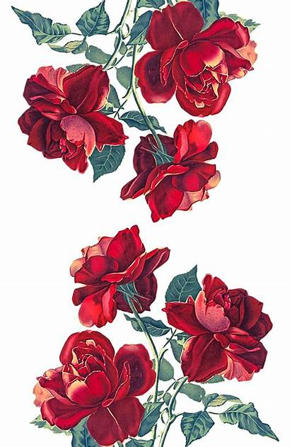 Roses Transparent Designs Heart Iphone Wallpapers Aesthetic