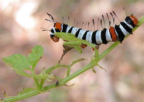 josephs coat moth agarista agricola