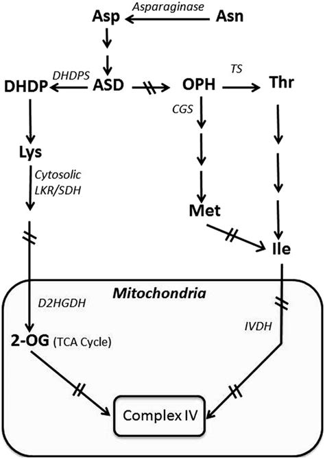 Enzymatic Cycle Diagram by Schematic Diagram Showing The Synthesis Of The Amino Acids