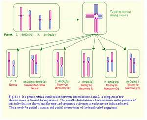 Reciprocal Translocation in Chromosomes - Bing images