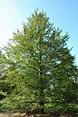 Fagus sylvatica 'Rotundifolia' | Van den Berk Nurseries