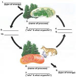 Similiar Photosynthesis And Cellular Respiration Model Labeled ...