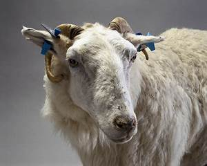 Tracy, a transgenic sheep, 1999. at Science and Society ...