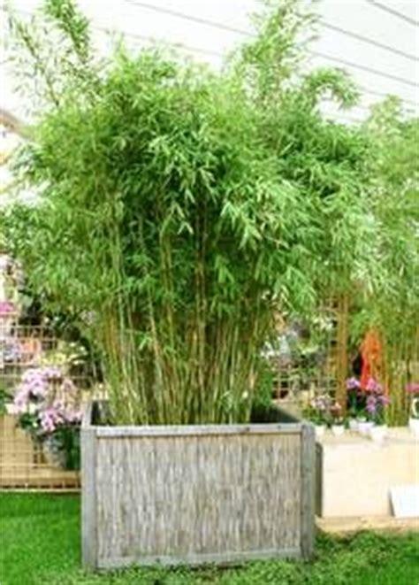 bambusbambus als kuebelpflanze pflege pflanzgefaesse