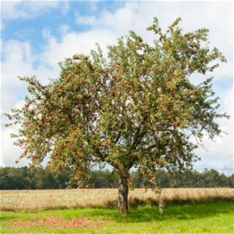 Standard Size Apple Trees For Sale  Stark Bro's
