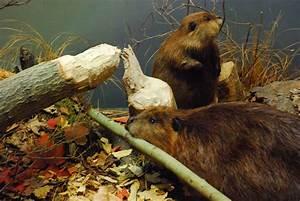 beaver, biology