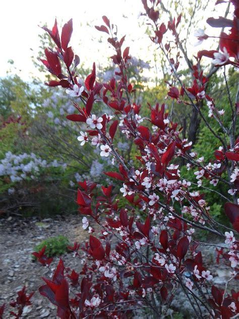 cherry tree with purple leaves prunus cistena bambooplants ca
