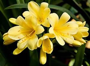 Geranien Gelbe Blätter : clivie riemenblatt clivia miniata pflege anleitung ~ Orissabook.com Haus und Dekorationen