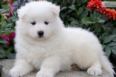 Cathy Samoyed Puppy For Sale Near Lancaster Pennsylvania