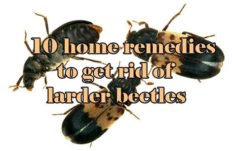 insects in kitchen cabinets 10 home remedies to get rid of larder beetles easy 4698