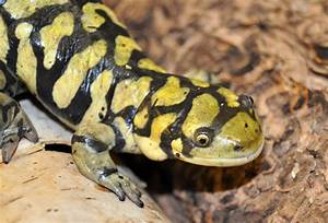 Tiger Salamander | The Biggest Animals Kingdom
