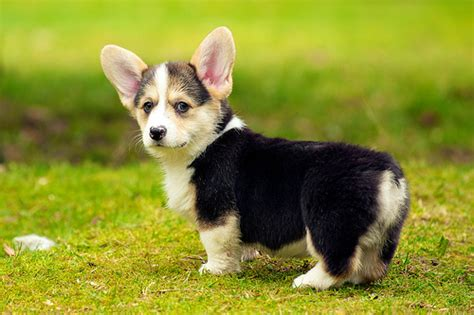 Corgi  Ee  Puppies Ee    Flickr P O Sharing