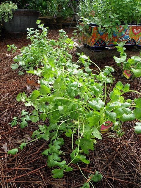 growing cilantro growing cilantro bonnie plants