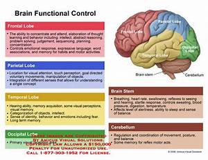 Brain Diagram And Functions