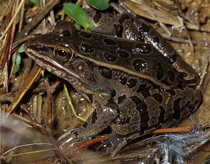Frog Leopard Southern Lines Nature Mdc Down