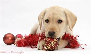 Dog: Yellow Labrador Retriever pup with decorations photo ...