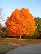 West Virginia Trees Fo...Sugar Maple Tree