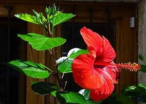 Hibiskus Pflege Zimmerpflanze : hibiskus pflege schneiden vermehren und berwintern ~ A.2002-acura-tl-radio.info Haus und Dekorationen