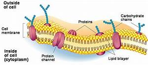 Labeled Diagram Of Plasma Membrane Beautiful All About