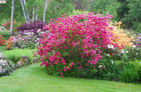 azaleas  rhododendrons    difference