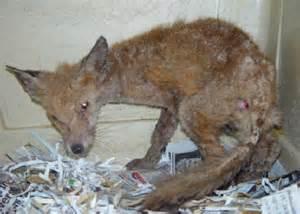 Fox Mange Treatment