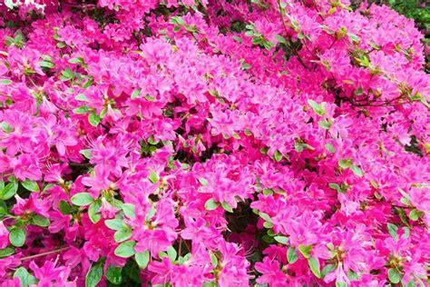 rosa blühender strauch bl 252 hende rhododendron strauch mit rosa bl 252 ten stockfoto colourbox