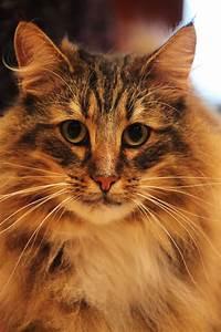 File:Norwegian Forest Cat face.jpg - Wikimedia Commons