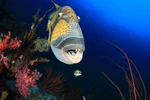 Diving with Titan Triggerfish | Dive The World Creature ...
