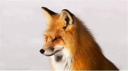 Fox Animal Giphy Gifs Everything
