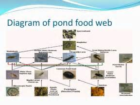 Pond Food Chain Diagram