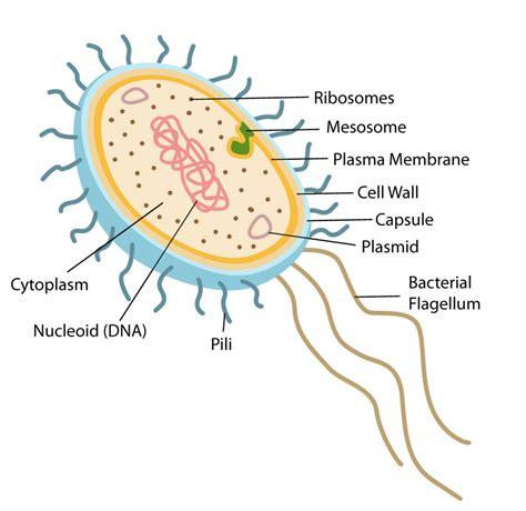 Structure Function Prokaryotic Cells