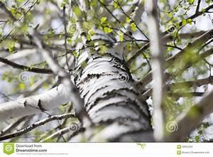 Branche De Bouleau : tronc d 39 un arbre de bouleau image stock image du lames ~ Melissatoandfro.com Idées de Décoration