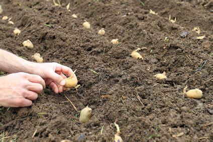 kartoffeln pflanzen setzen mit anleitung ᐅ sorten und ihre pflanzzeit