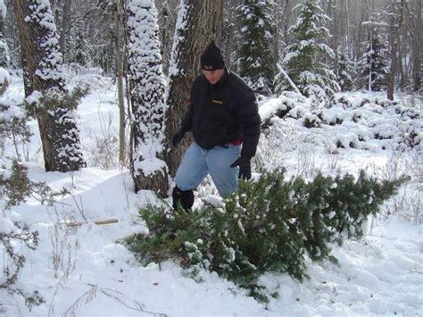 cut down your own christmas tree edmonton cut tree madinbelgrade
