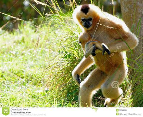 Gibbon Monkey Carrying Baby Stock Image