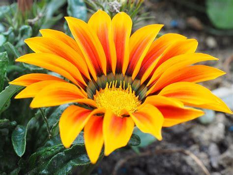 Fiore Flowers by Gazanie Flor Amarillo 183 Foto Gratis En Pixabay