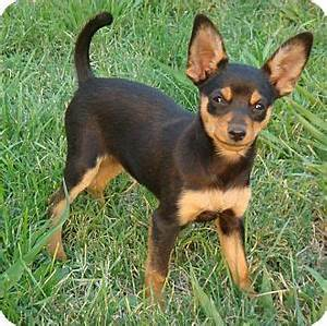 Oyster   Adopted Puppy   Red Bluff, CA   Miniature ...