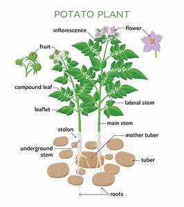 Parts Of Plant Diagram Stock Vector  Illustration Of Plant