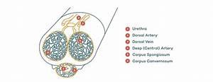 Peyronie U0026 39 S Disease