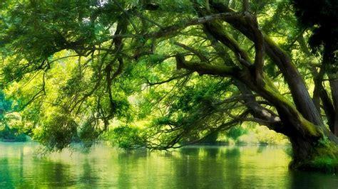 tree  water forest hd wallpaper hintergrund