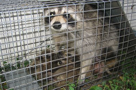 How To Catch A Raccoon In My Backyard by How To Trap Raccoons Raccoon Trapping Tips